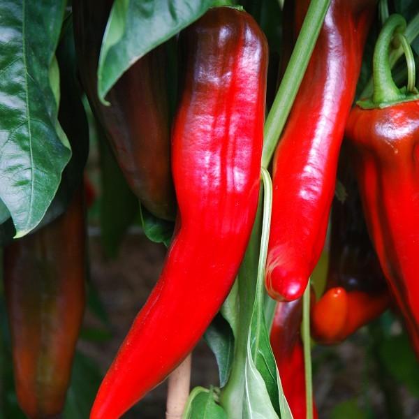 Paprika 'Corno di Bue Rosso' Saatgut