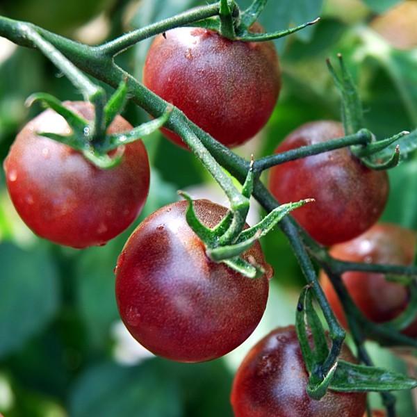 Cherrytomate 'Black Cherry' Saatgut