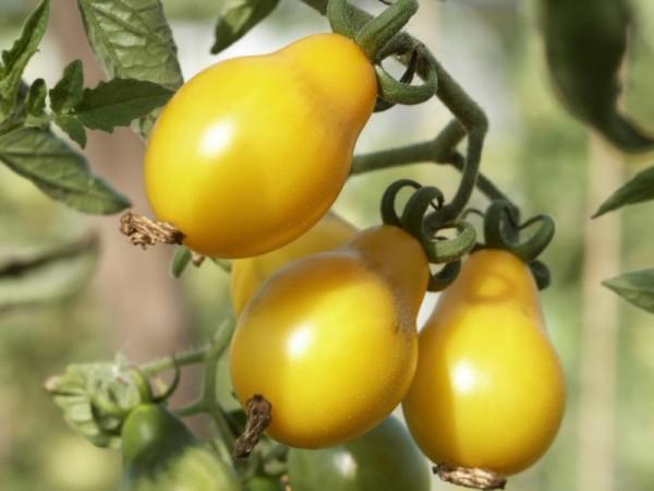 Cherrytomate 'Gelbe Birnenförmige' Saatgut