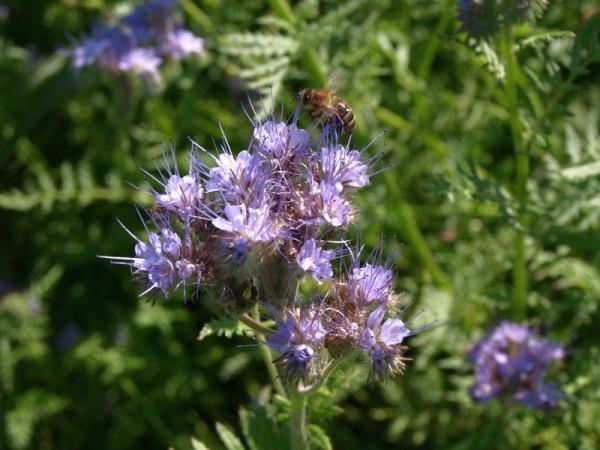 Gründüngung Phacelia ('Bienenfreund') Saatgut
