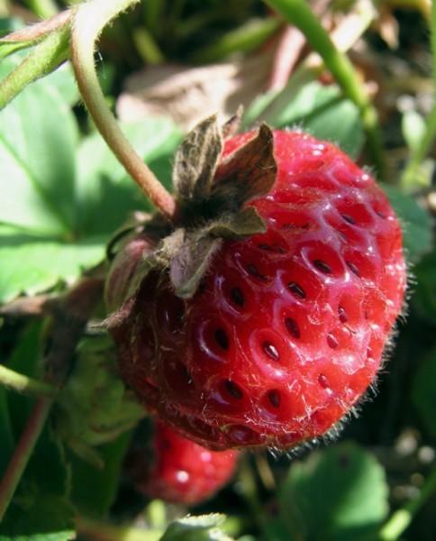 Mieze Schindler Erdbeer-Pflanzset